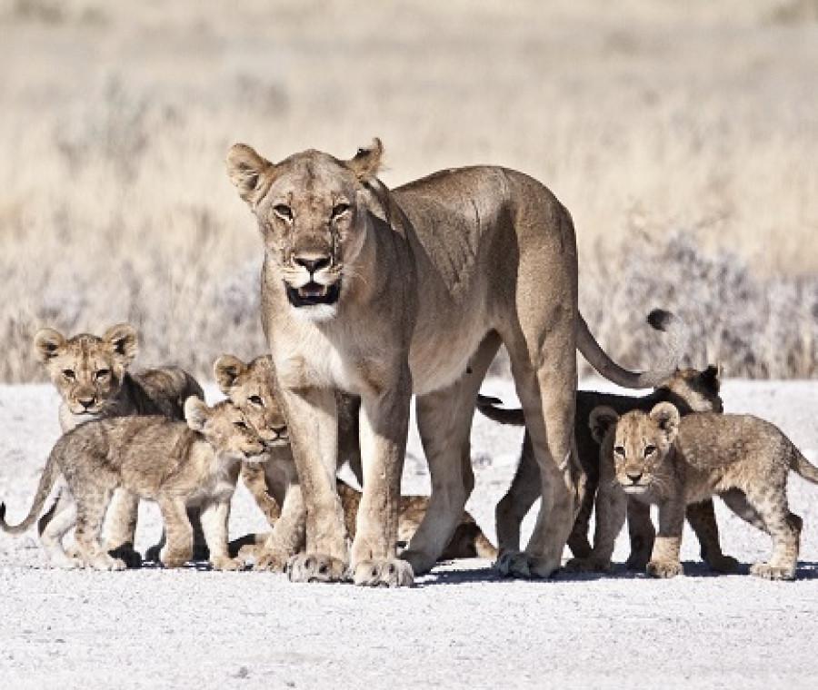 leonessa-cuccioli.jpeg