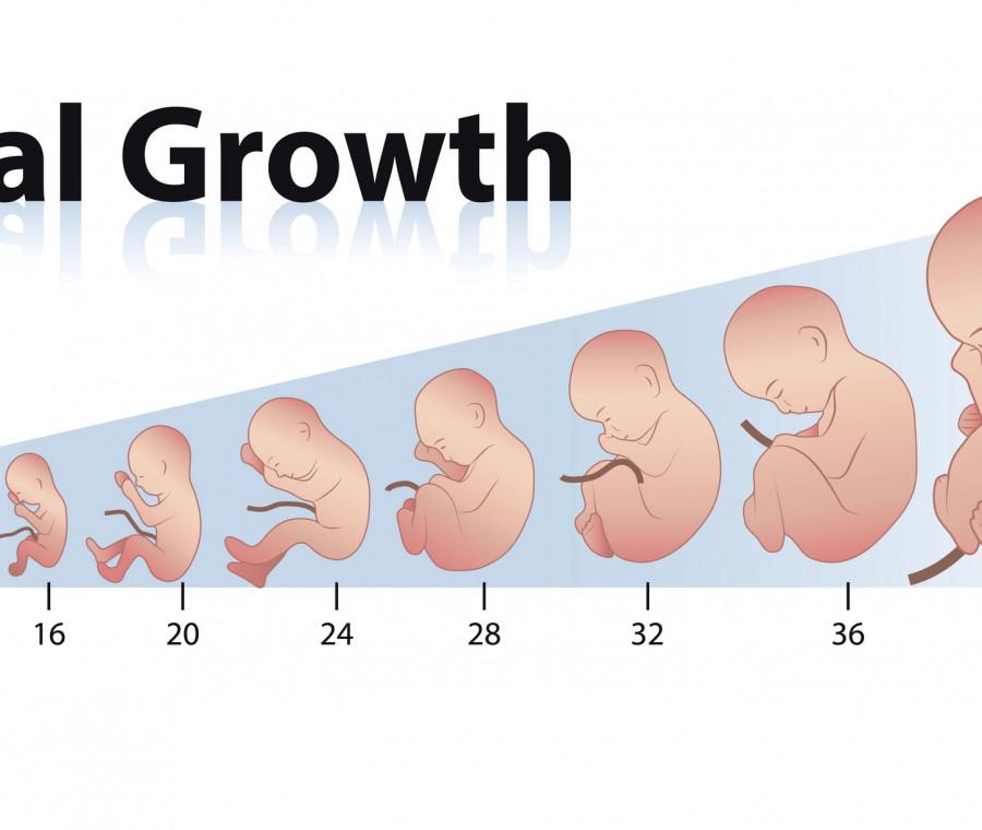 peso-del-feto-calcolo-e-tabelle