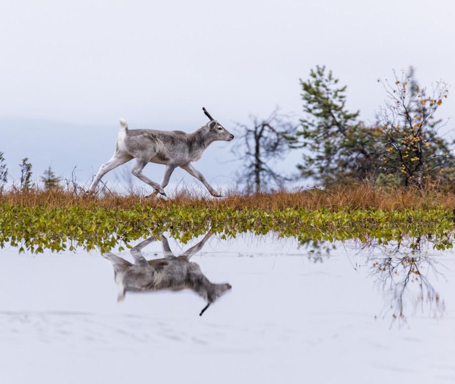 ailo-un-avventura-tra-i-ghiacci-la-vita-di-una-renna