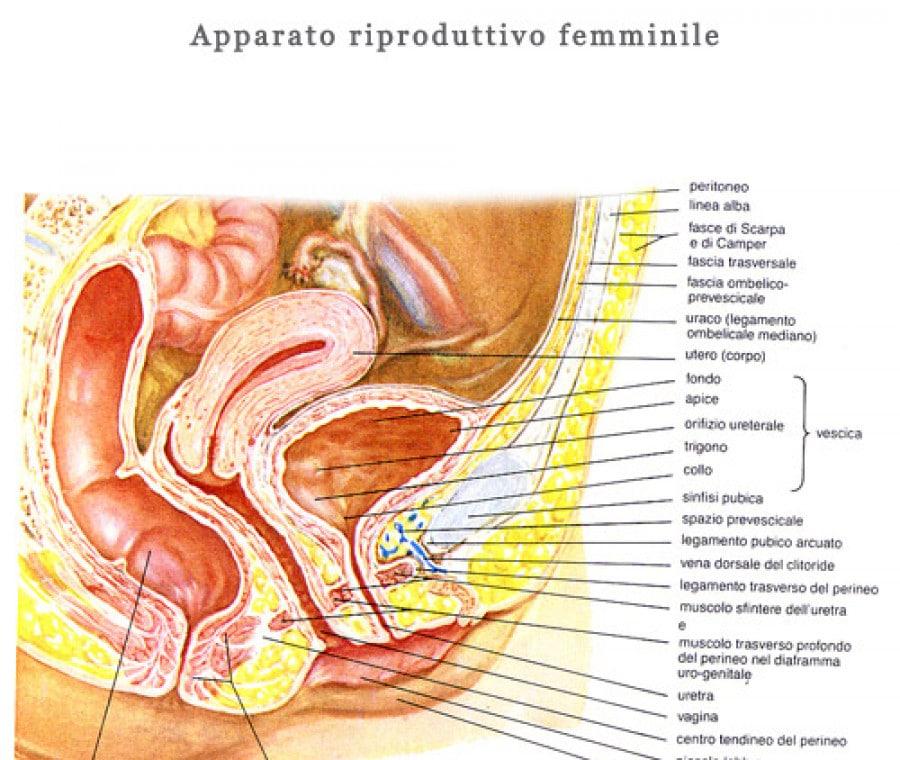 apparato_femminile